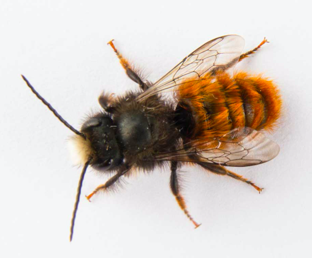 Eigene Wildbienen auf deinemBalkon